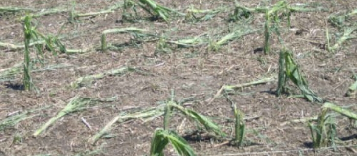 The Basics on Multiple-Peril Crop Insurance