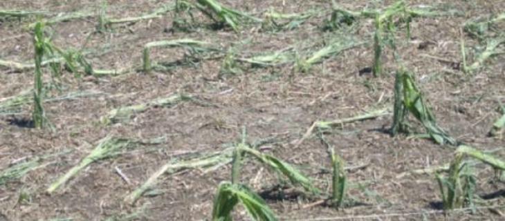 The Basics on Multiple-Peril Crop Insurance